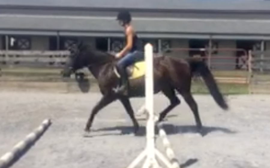 *ADOPTED*BELLA 6 Year Old Black Large Pony Mare