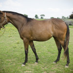 *ADOPTED* LEAH THE ZEBRA4 Year Old Bay Thoroughbred Filly