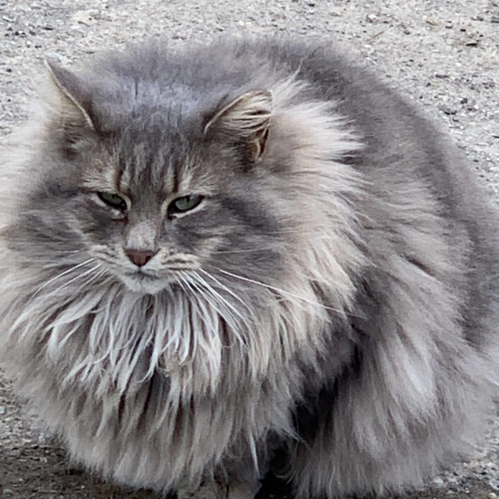 gray long haired cat