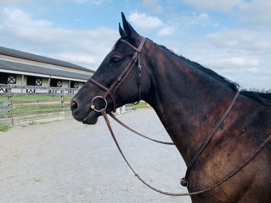 cotton wood an adoptable horse