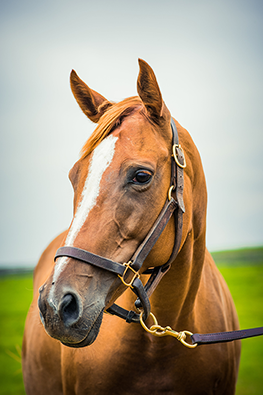 Queen of the Disco, a retired Thoroughbred mare in our sanctuary program.