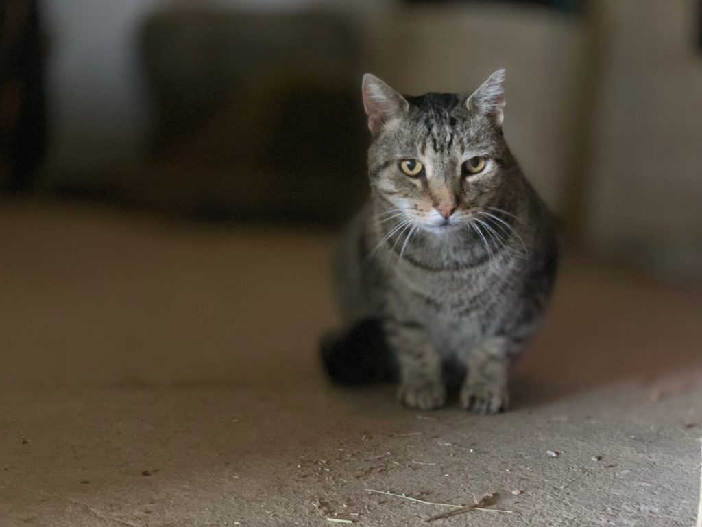 brown tabby cat sitting in a barn