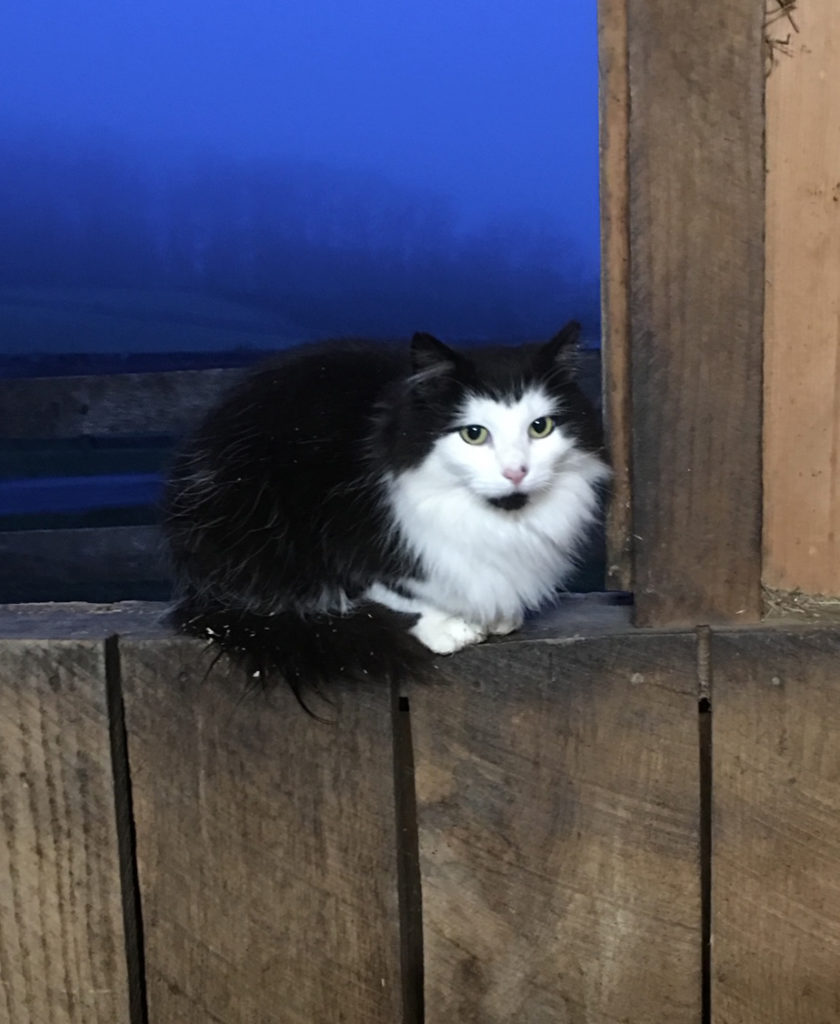 long haired black and white cat sitting in a barn