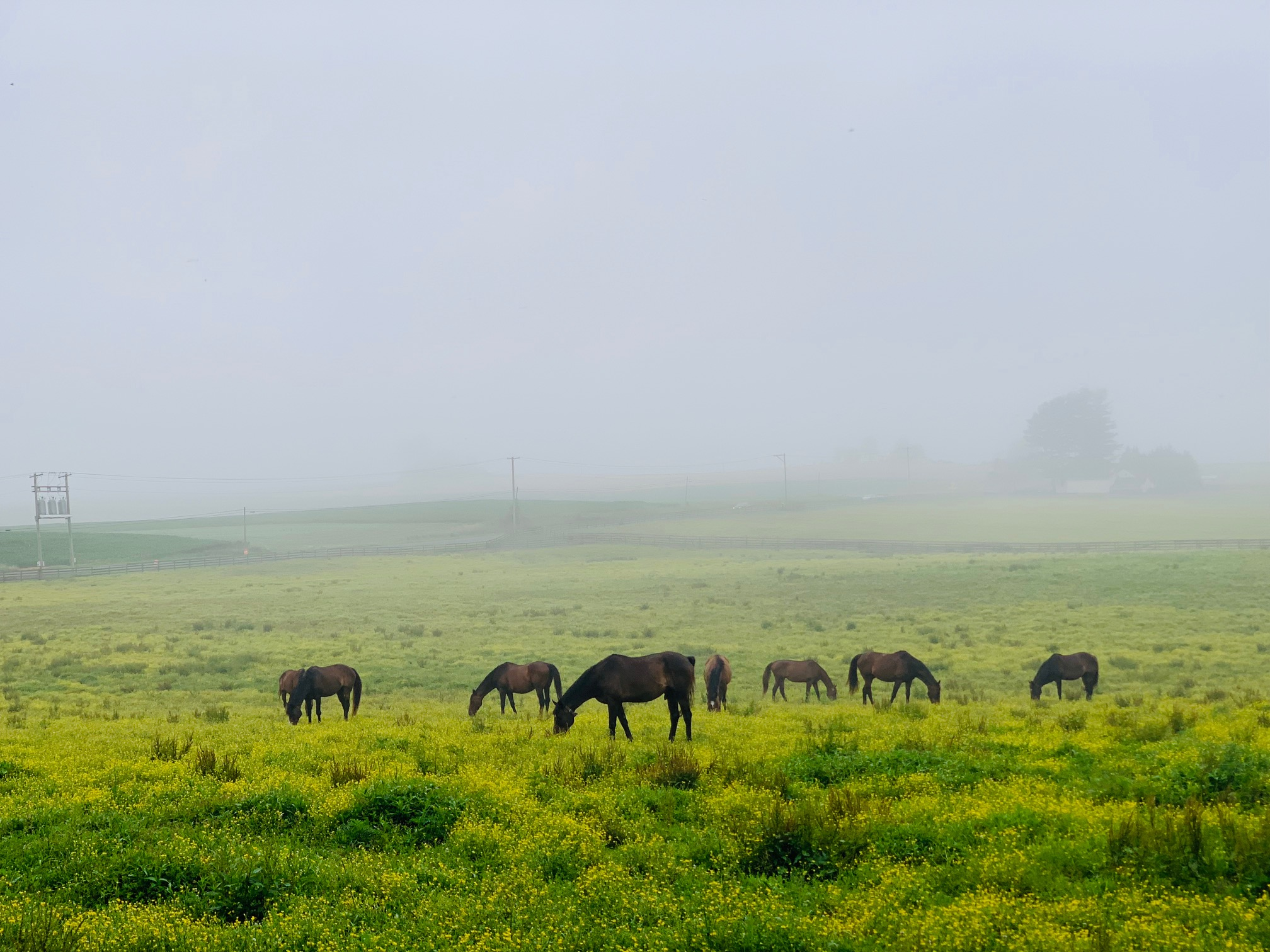 Some of our sanctuary geldings graze on a foggy morning.
