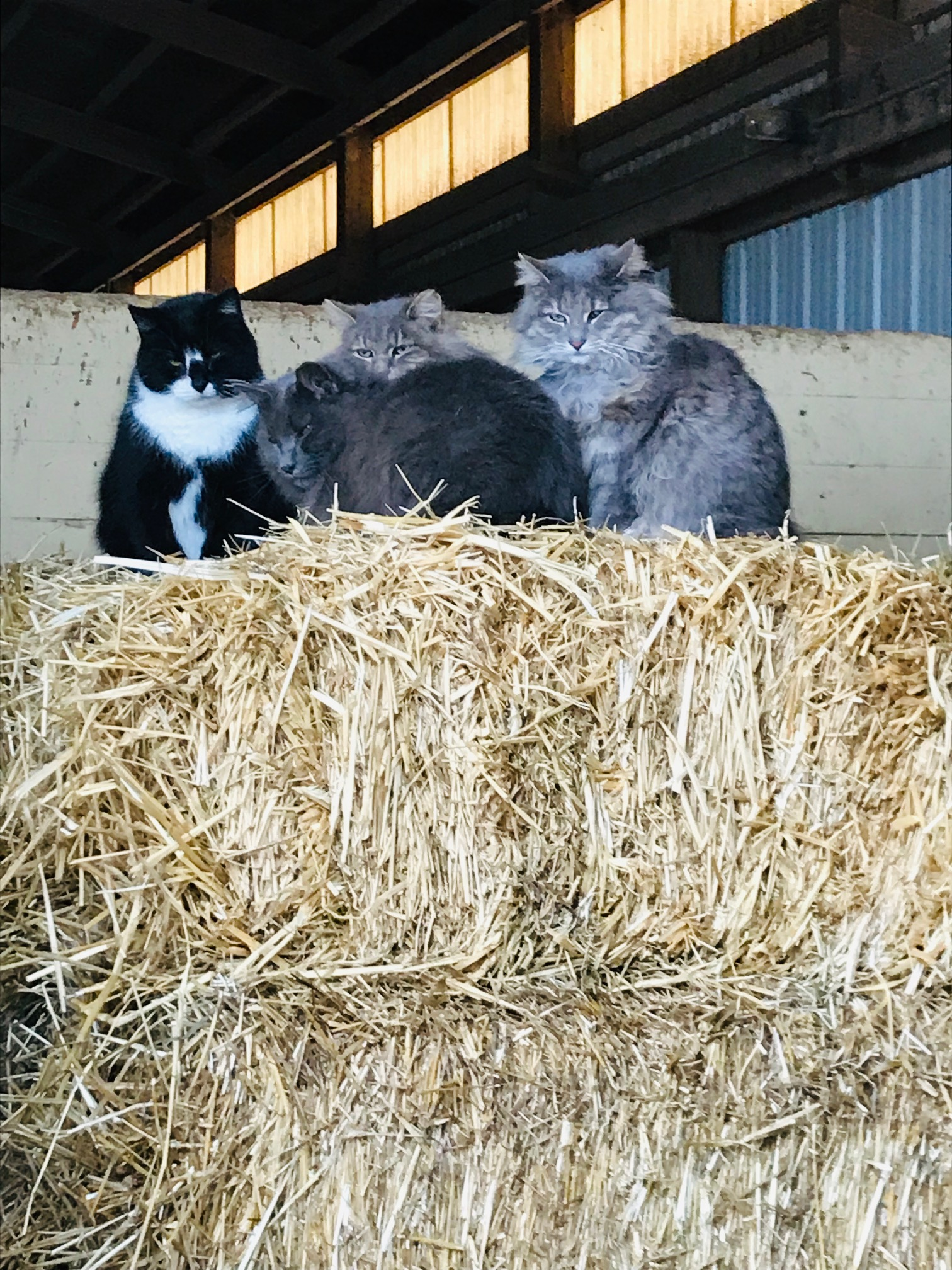 Mischief and the bobtails think newly stacked hay is the best place to spend an afternoon.