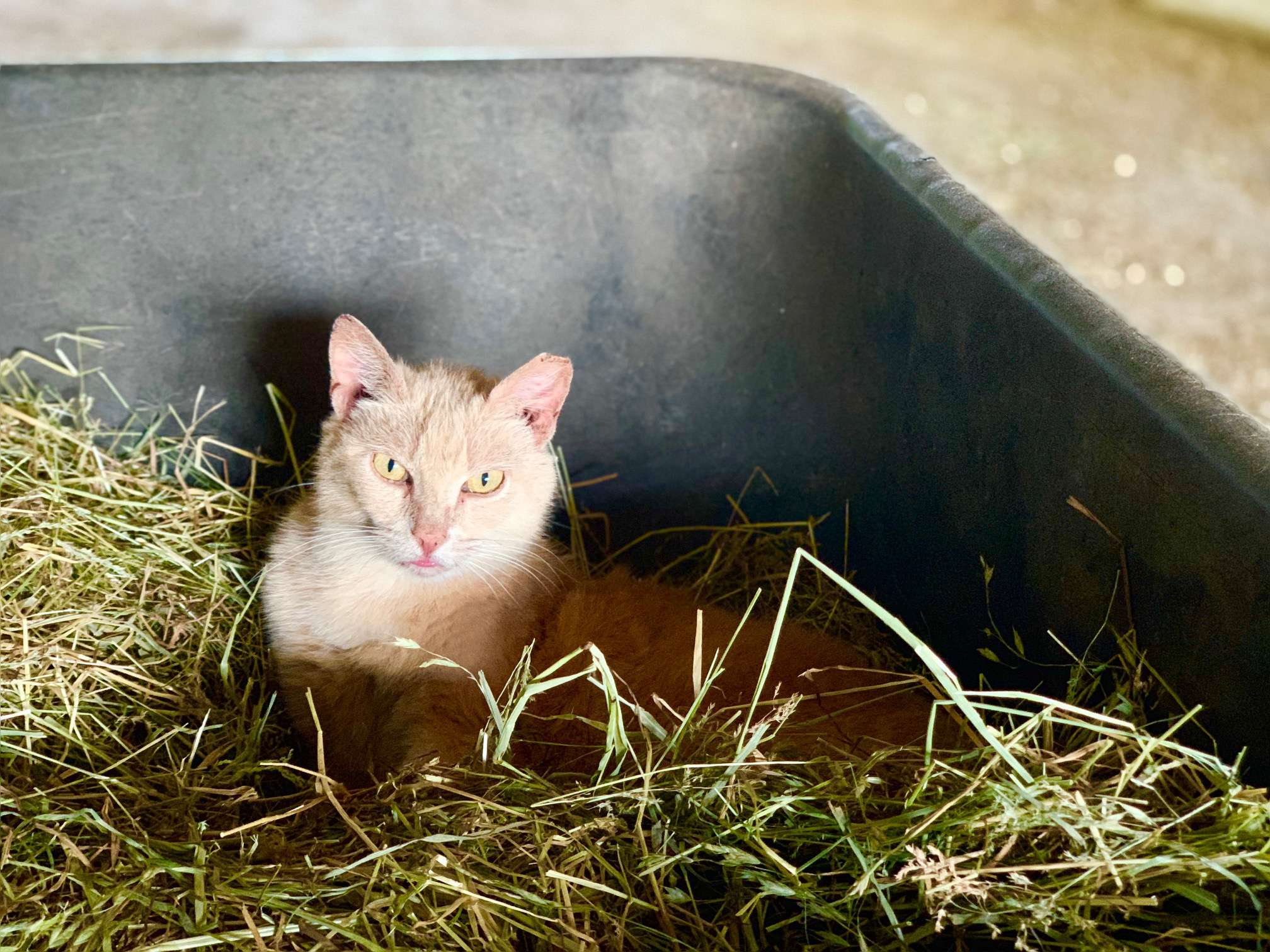 McLaren, one of our sanctuary cats, finds a comfy spot in a pile of hay.