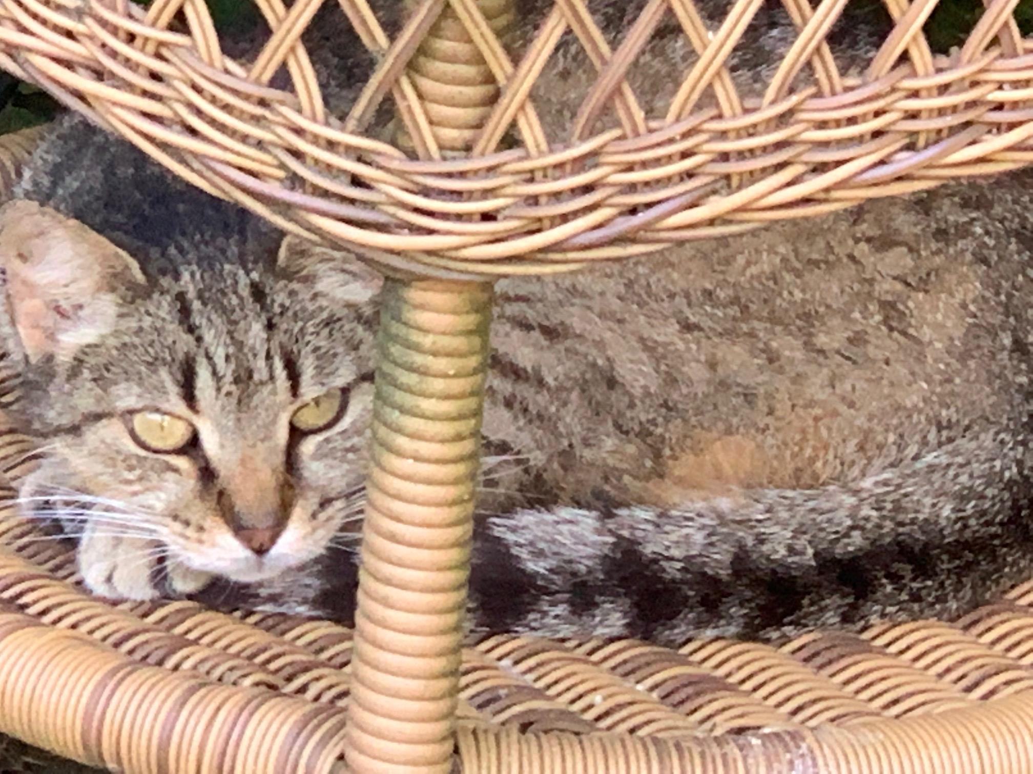 Munchkin enjoying an afternoon nap.