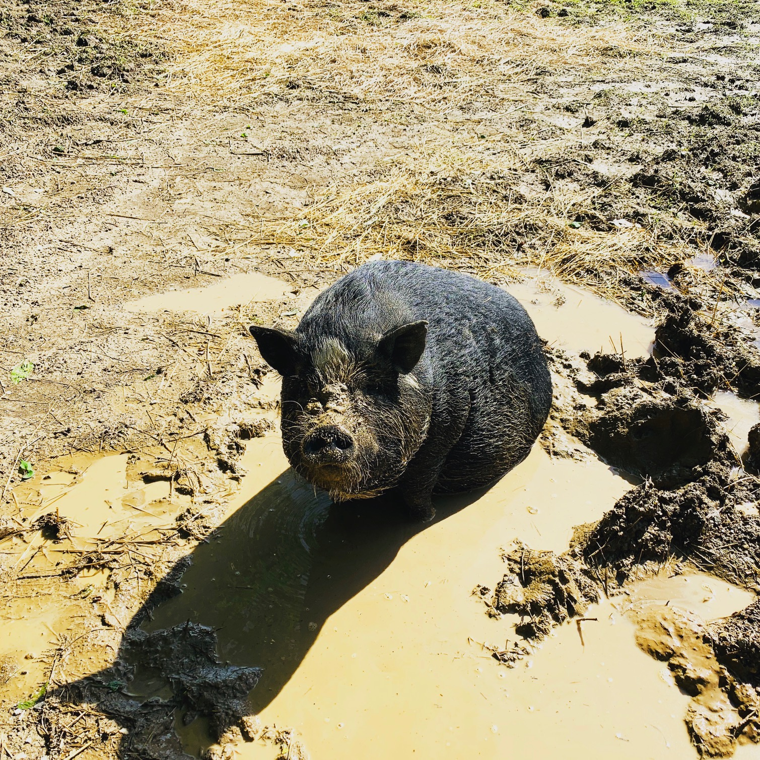 Petunia cools off in a mud puddle.