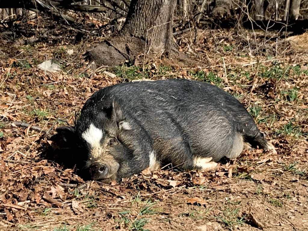pot belly pig sleeping in the sun by woods