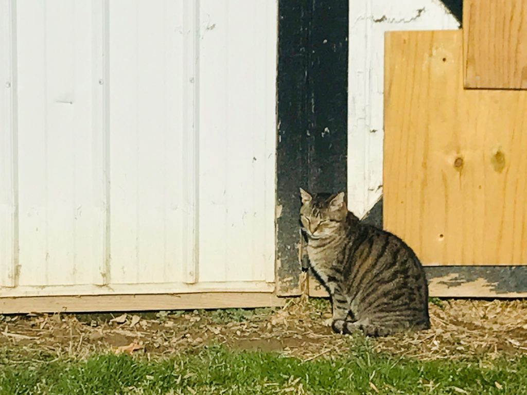 brown tabby cat sitting by a barn in the sun