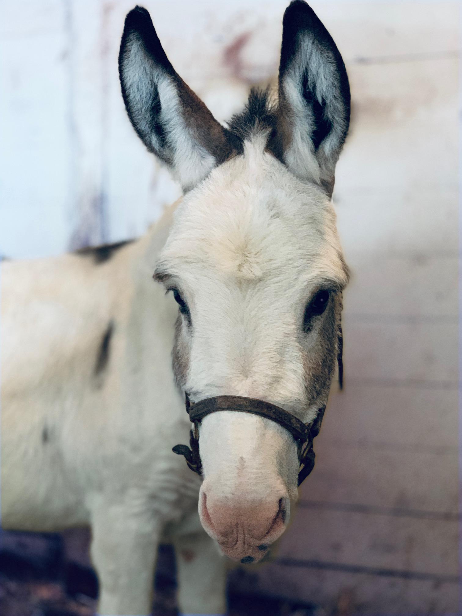 Mini donkey Sunny is all ears.