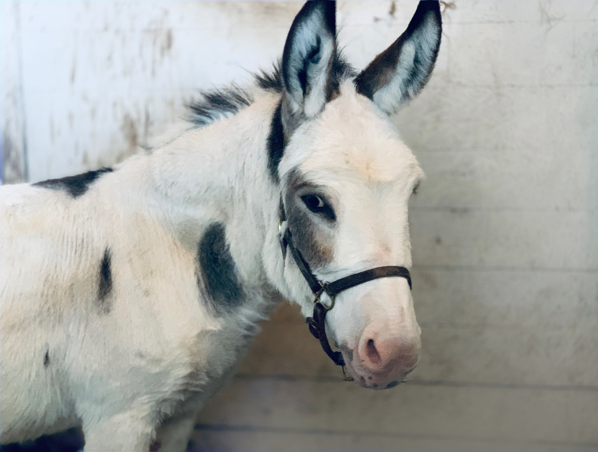Sunny, our mini donkey, posing for the camera.
