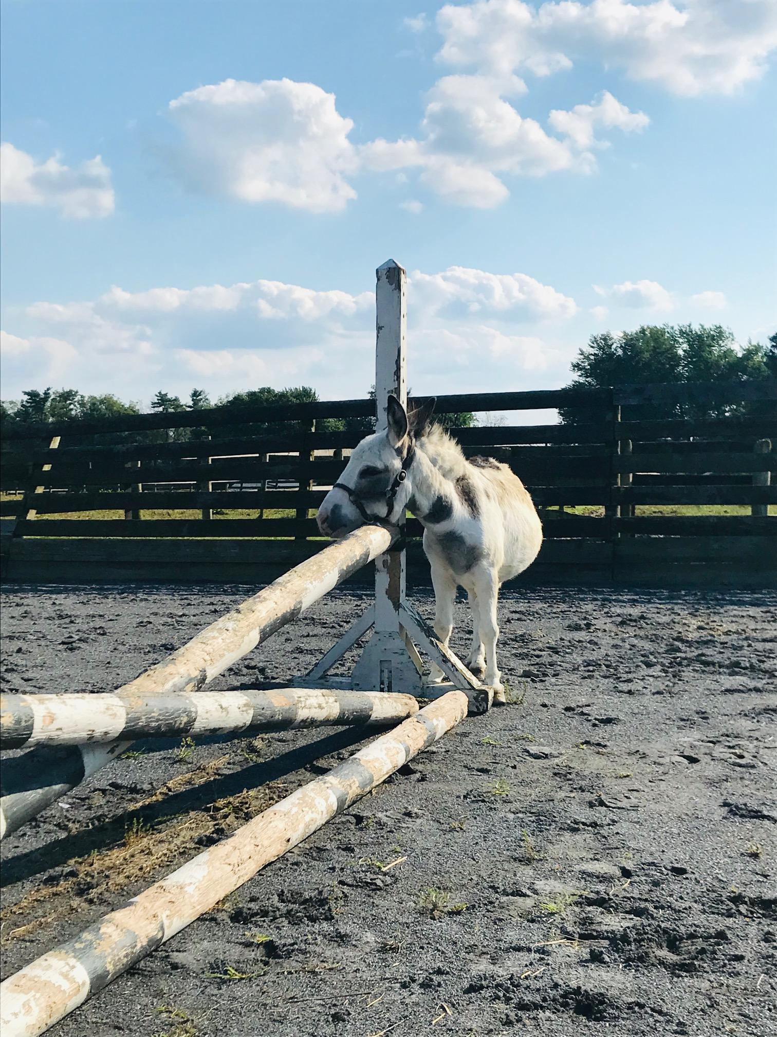 Sunny, our mini donkey, thinks jumps work better as scratching posts.