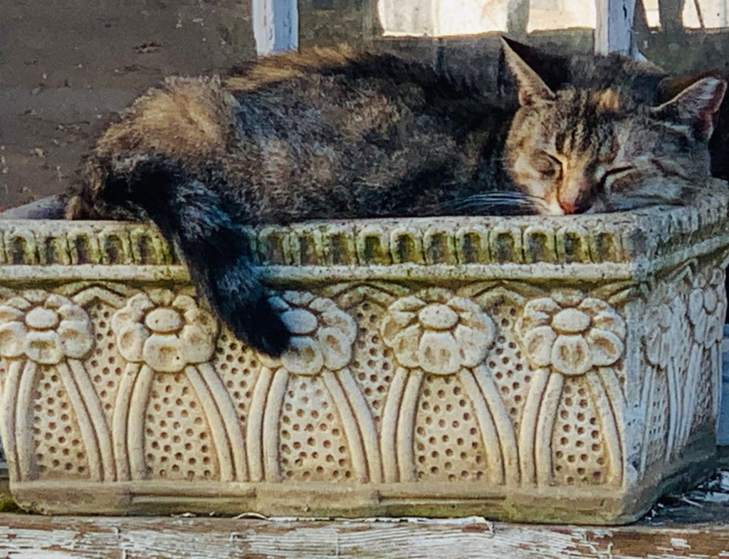 brown tabby cat sleeping in a planter