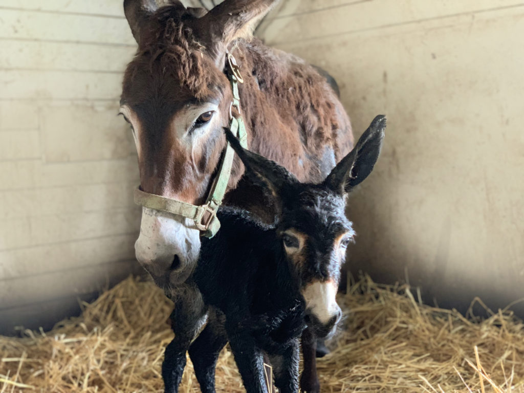 donkey and her new baby standing in a stall