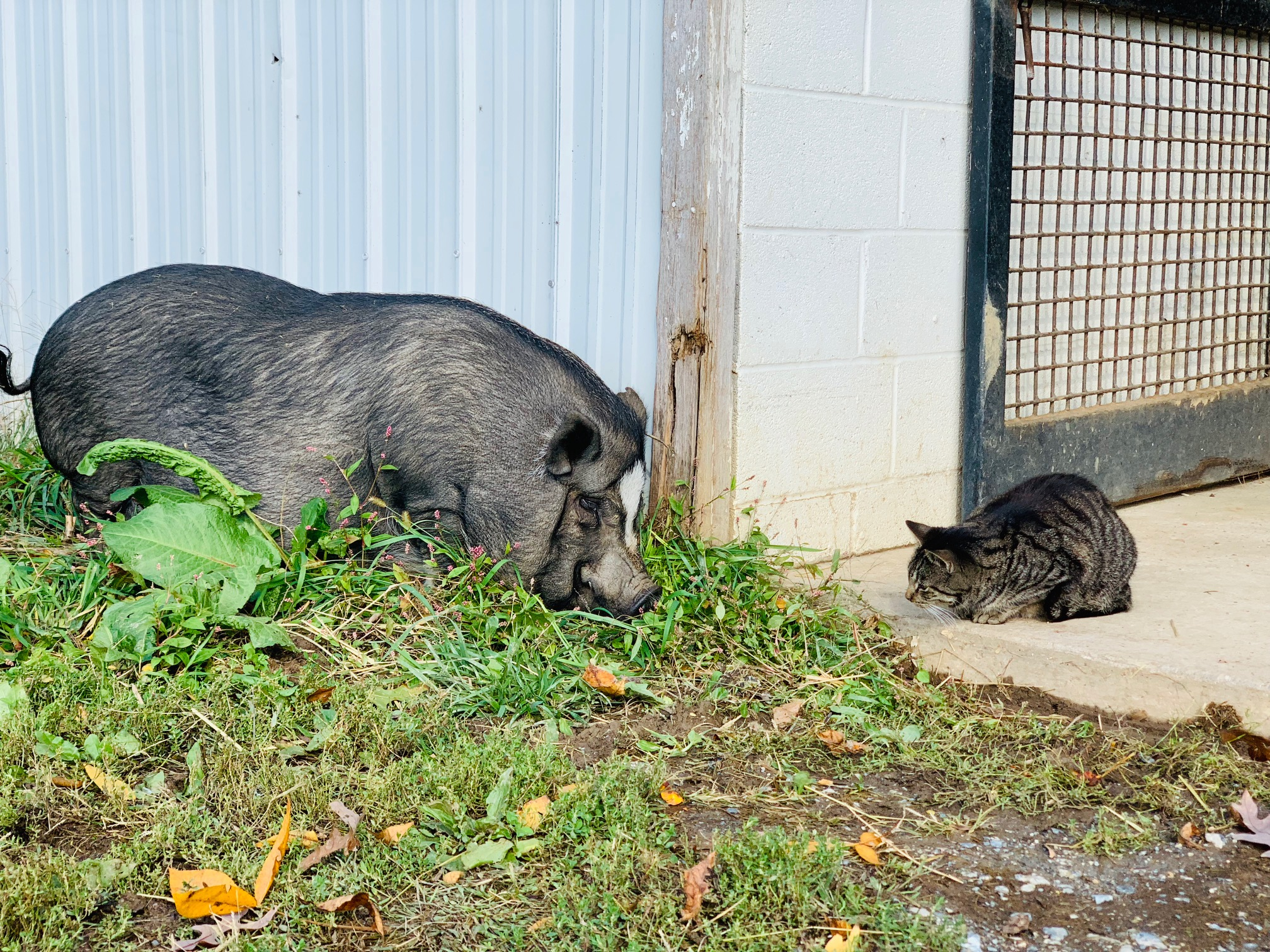 Bugatti isn't sure about Petunia the pig hanging out in her barn.