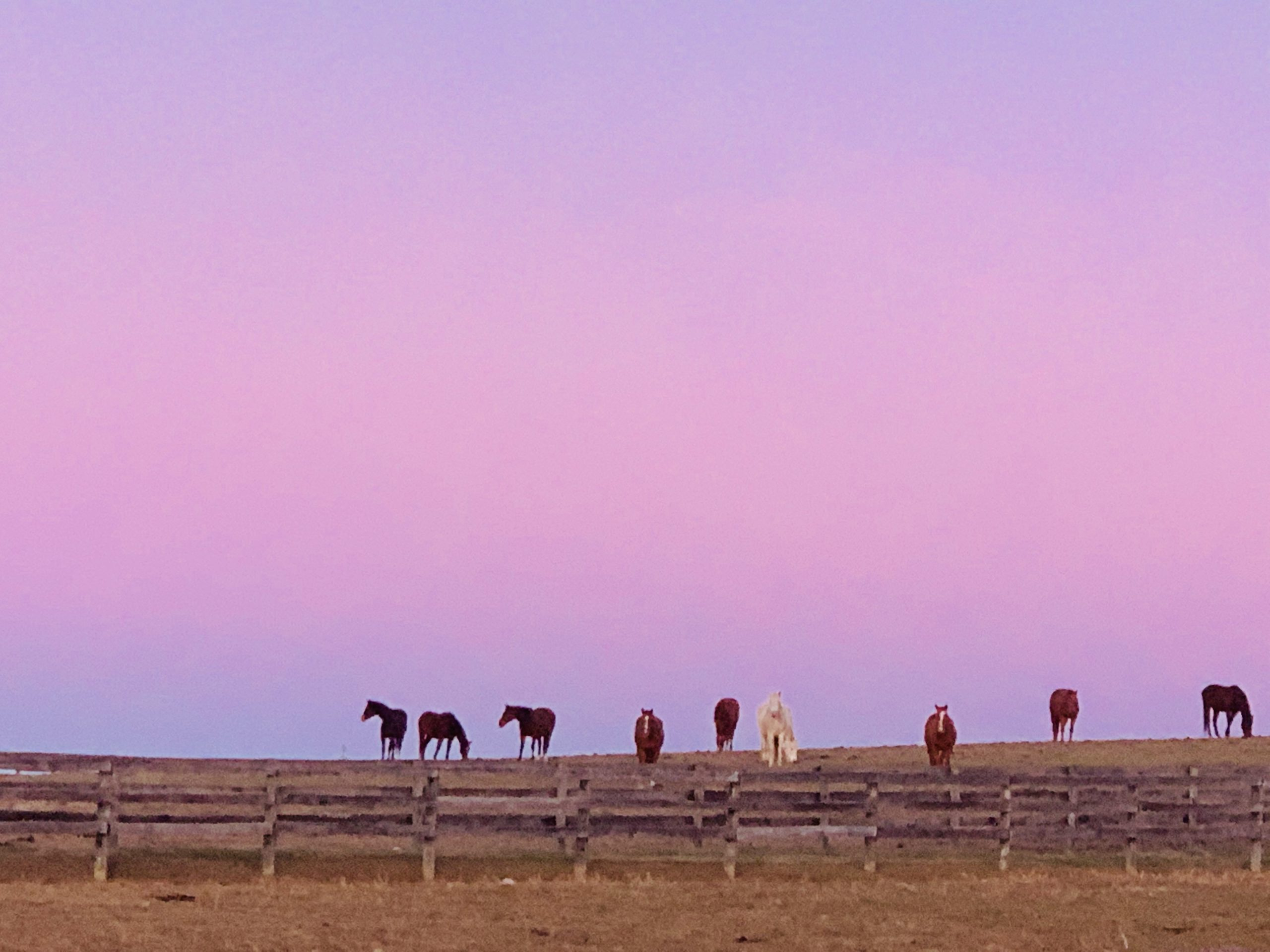 Some of our sanctuary mares grazing at sunrise. They have found a safe place to land with their forever home at Foxie G.